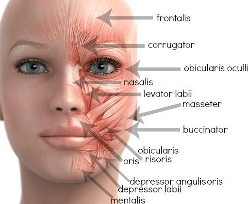 diagram of a woman's face showing the various facial muscles